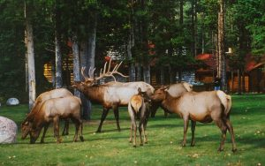 Exterior of Alpine Village Jasper with elk on front lawn